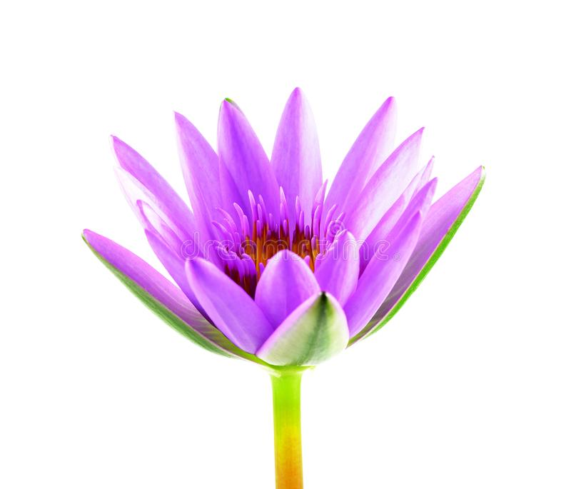 Purple lotus flower isolated on white background. Beautiful lotus. Single lotus flower isolated on white , Water Lily.  stock photo