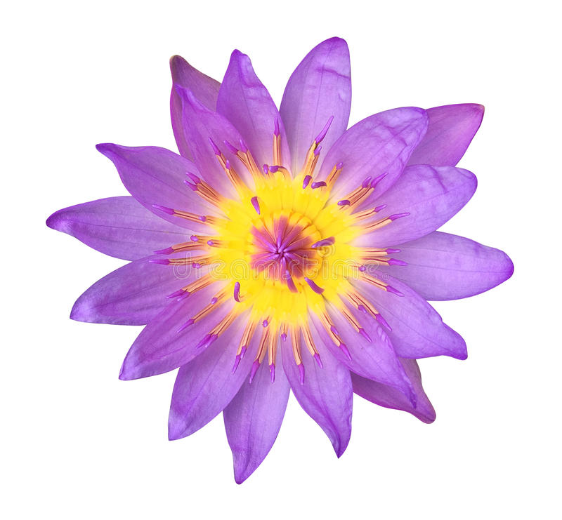 Purple lotus flower isolated on white background, clipping path royalty free stock photos