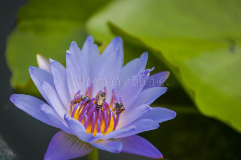 A purple lotus flower in a pool. stock images