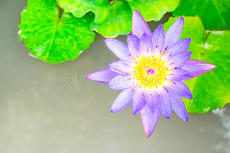Purple lotus flower, Top view royalty free stock photography