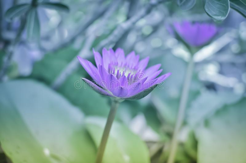 Purple lotus art flower. Purple lotus flower in tropical garden royalty free stock photos