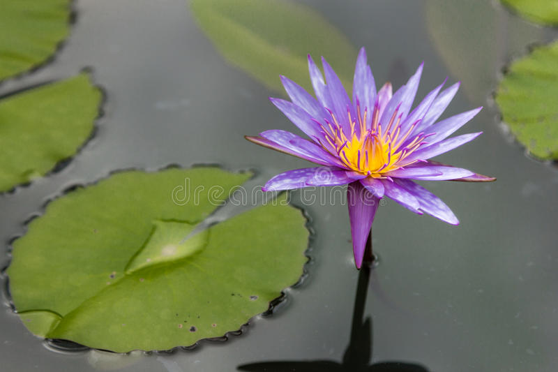 A purple lotus flower on the water. Close up of a purple lotus flower on the water royalty free stock photos