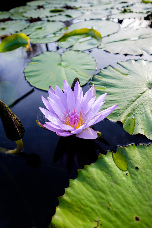 Purple lotus flower with water lilies. Single purple lotus flower with water lilies royalty free stock images