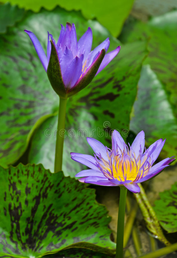 Purple lotus flower. Purple water lilly flower in bloom royalty free stock photos