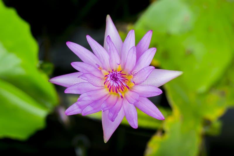 Purple lotus flower. Water lily royalty free stock photos