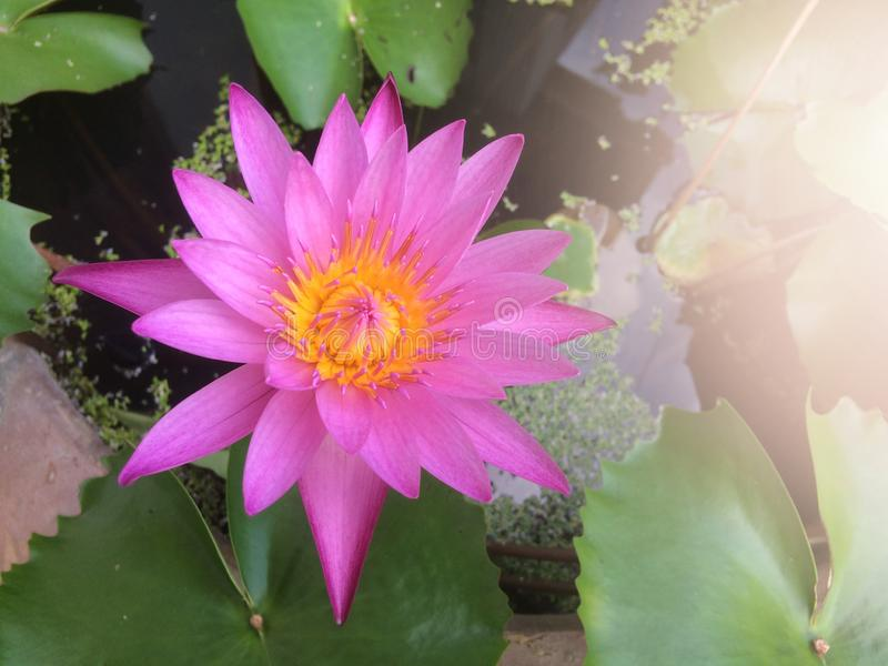 Purple lotus flower or water lily beautiful in a pot. stock image