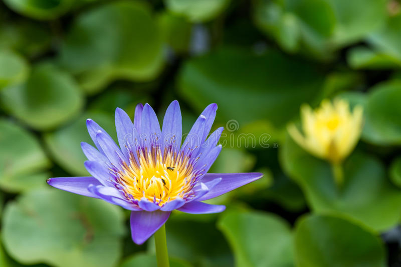 Purple lotus flower, Water lily. Closeup of a purple Water lily in a pond stock photos