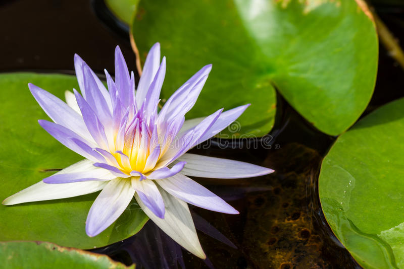Purple lotus flower, Water lily. Closeup of a purple Water lily in a pond royalty free stock image