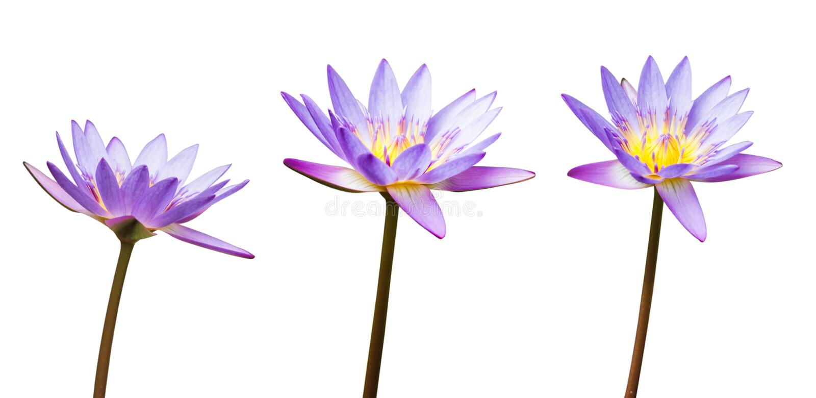 Purple lotus flower or water lily isolated on white background. Have clipping path easy for cut out. Flowers for Buddhism.  stock photos