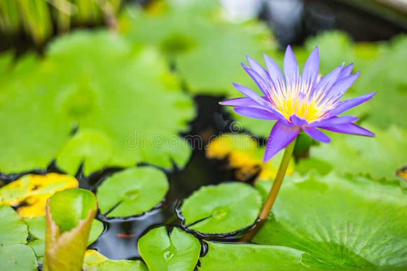 Purple lotus flower with yellow pollen. stock photo