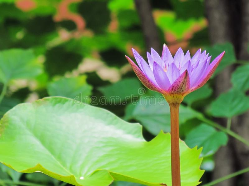 Purple lotus flowers blooming above the water and leaves in the. Pond stock photography