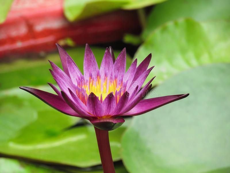 Purple lotus flowers blooming above the water and leaves. stock images