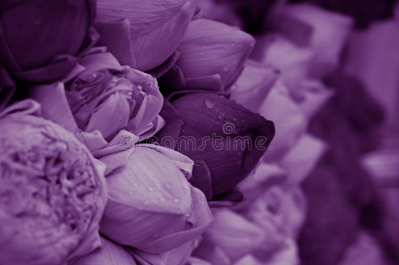 Purple lotus flowers for temple. Purple lotus flowers in the market sell for the temple royalty free stock photos