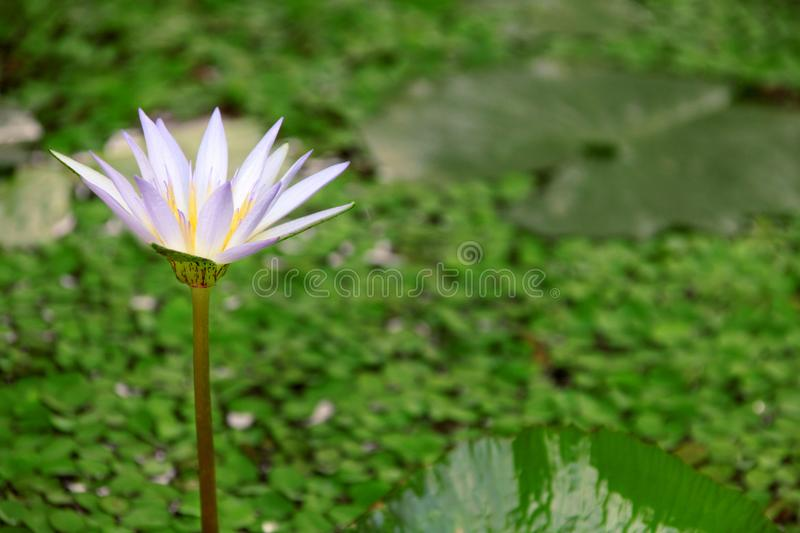 Purple Lotus in the green water garden. In the background you can see the green lotus leaves stock photos