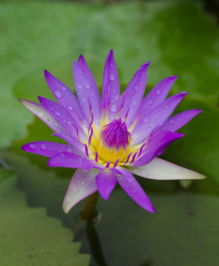 A purple lotus in a lake with raindrops on its petals stock photo