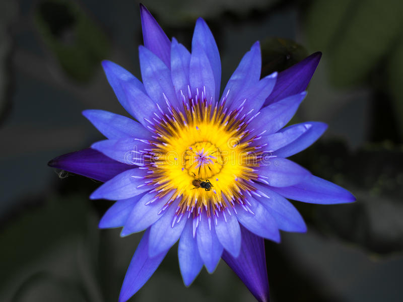 Purple lotus and little bee. Colorful purple water lily with bee in macro shot royalty free stock images