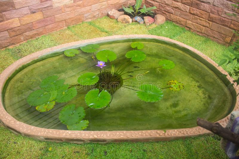 Purple lotus and leaves in pond stock images