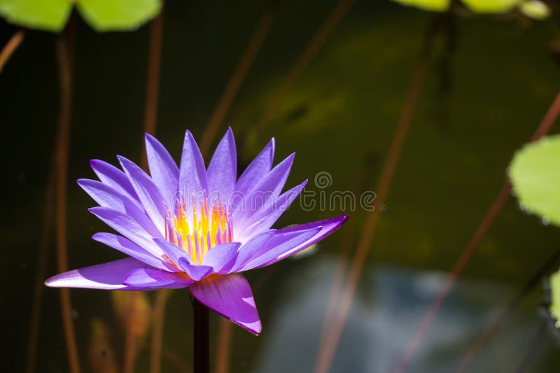 Purple lotus in pond at temple in Thailand . Symbol of peaceful.  stock images