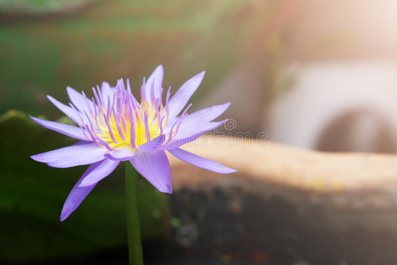 Purple lotus in pot stock photos