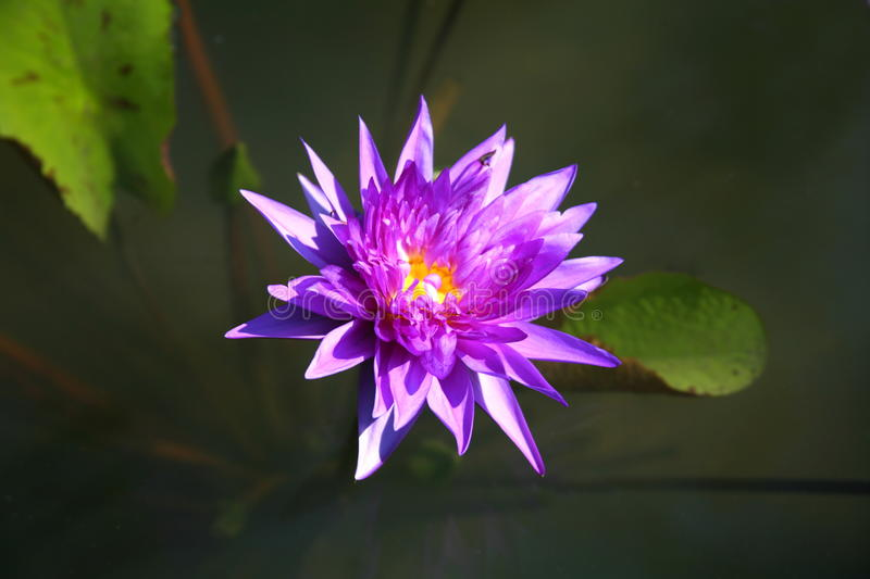 Purple lotus / purple water lily stock images