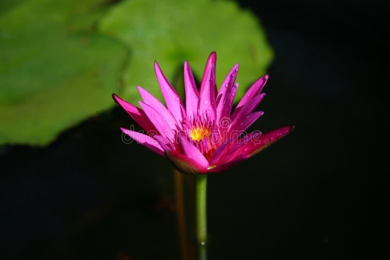 Purple lotus / purple water lily stock photos