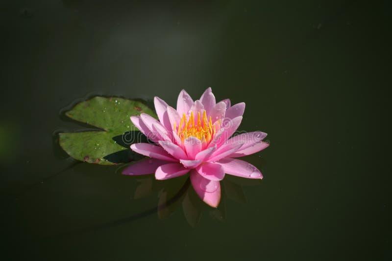 Purple lotus / purple water lily royalty free stock photos