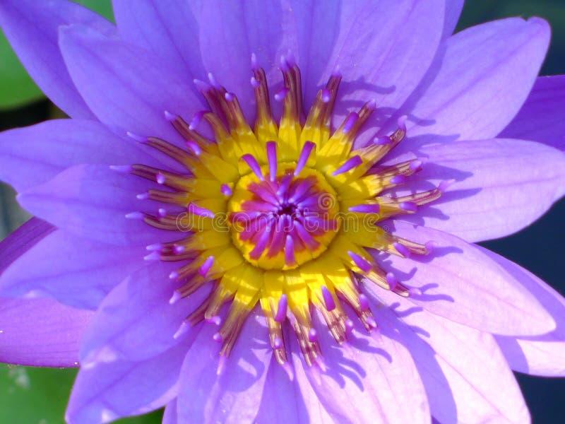 Purple lotus / purple water lily stock image