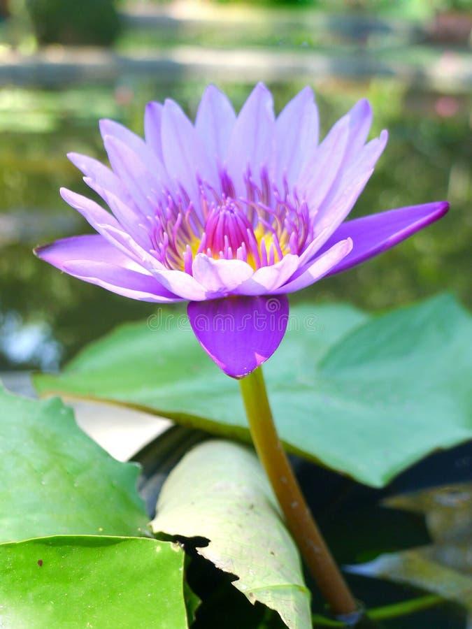 Purple lotus / purple water lily stock photo