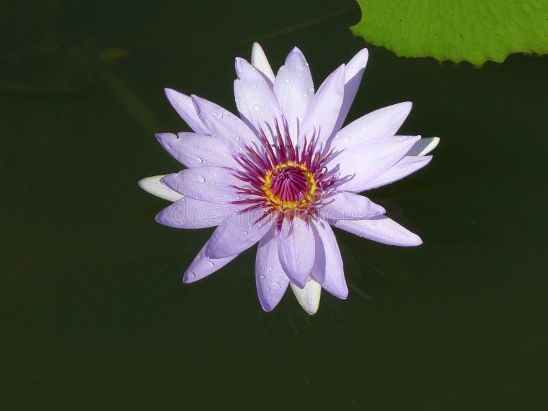 Purple lotus / purple water lily royalty free stock photo