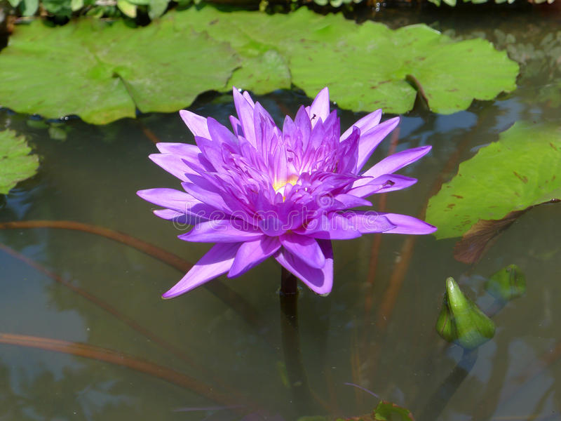 Purple lotus / purple water lily royalty free stock photography