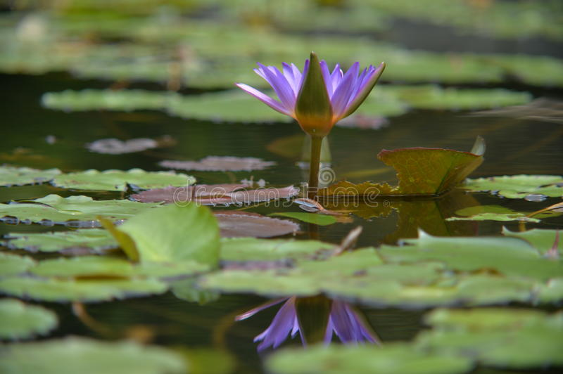 Purple lotus with reflection in water royalty free stock image