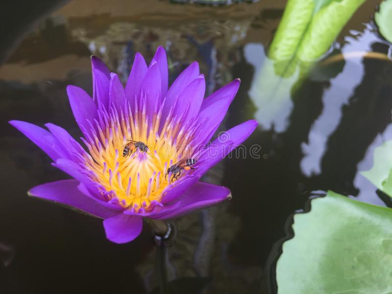 Purple Lotus with two bees stock photos