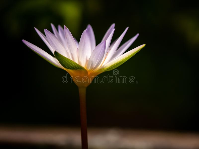 Purple lotus water Flower is Bloom on black background. stock image
