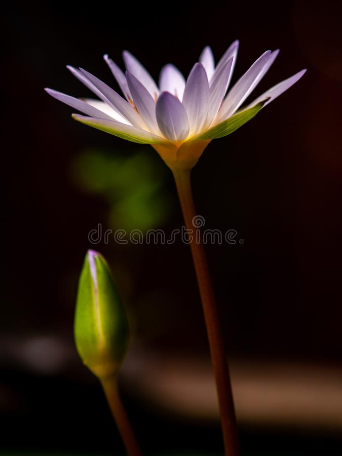 Purple lotus water Flower is Bloom on black background. stock photo