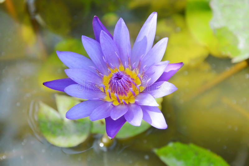 Purple lotus water lily flower blooming on water royalty free stock photography