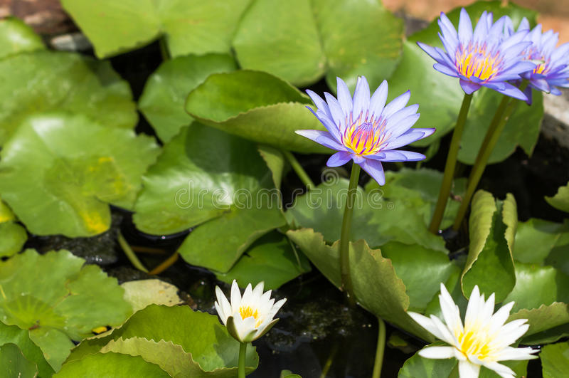 Purple lotus Water lily with green leaves in pond. Purple lotus Water lily with green leaves on the tub mortar stock photography