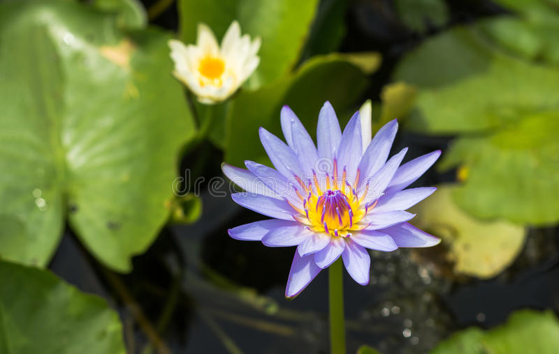 Purple lotus Water lily with green leaves in pond. Purple lotus Water lily with green leaves on the tub mortar royalty free stock photo