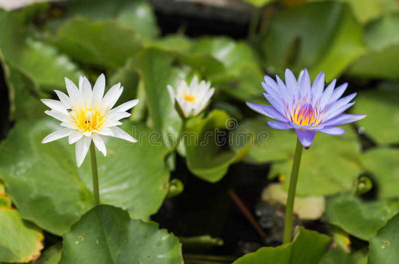 Purple lotus Water lily with green leaves in pond. Purple lotus Water lily with green leaves on the tub mortar royalty free stock images