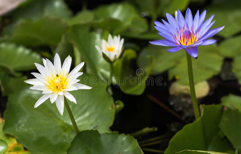 Purple lotus Water lily with green leaves in pond. Purple lotus Water lily with green leaves on the tub mortar stock image