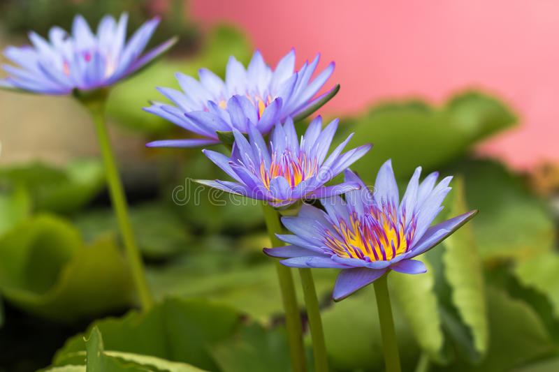 Purple lotus Water lily with green leaves in pond. Purple lotus Water lily with green leaves on the tub mortar stock images