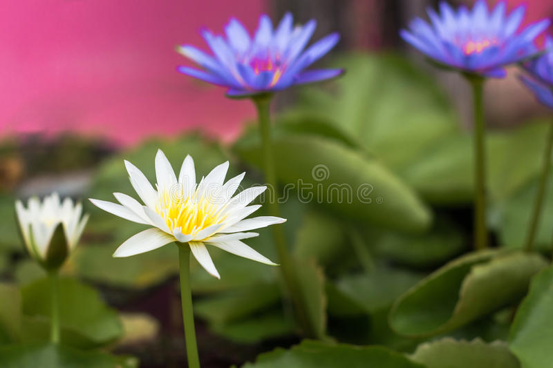 Purple lotus Water lily with green leaves in pond. Purple lotus Water lily with green leaves on the tub mortar royalty free stock photography