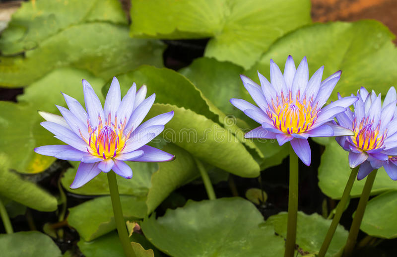 Purple lotus Water lily with green leaves in pond. Purple lotus Water lily with green leaves on the tub mortar royalty free stock photos