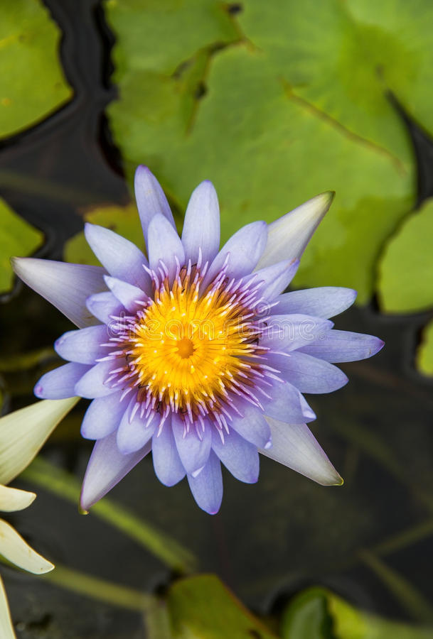 Purple lotus Water lily with green leaves. On the tub mortar stock photos