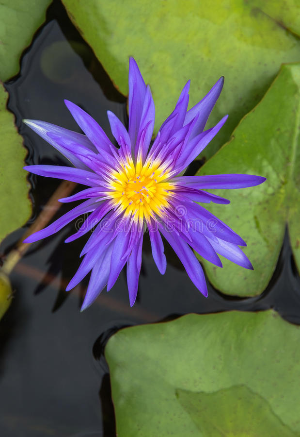 Purple lotus Water lily with green leaves. On the tub mortar stock images