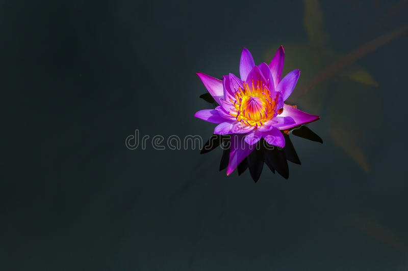 Purple Lotus,Water Lily. Of Thailand stock photography