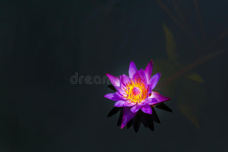 Purple Lotus,Water Lily. Of Thailand royalty free stock photography