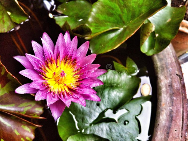 Purple lotus. Water lily, plant, flower royalty free stock images
