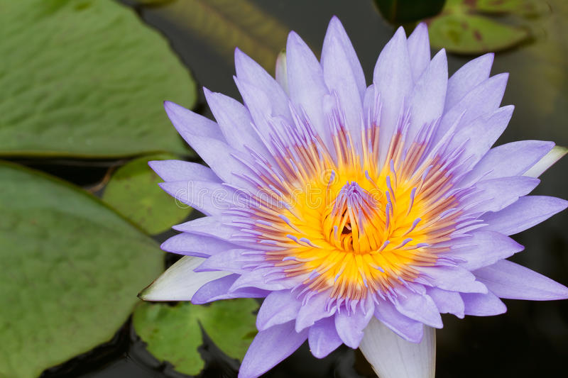 Purple lotus. Purple water lily in pond royalty free stock photography