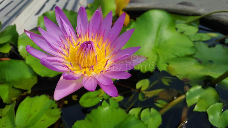 Purple lotus or water lily in pond royalty free stock photography