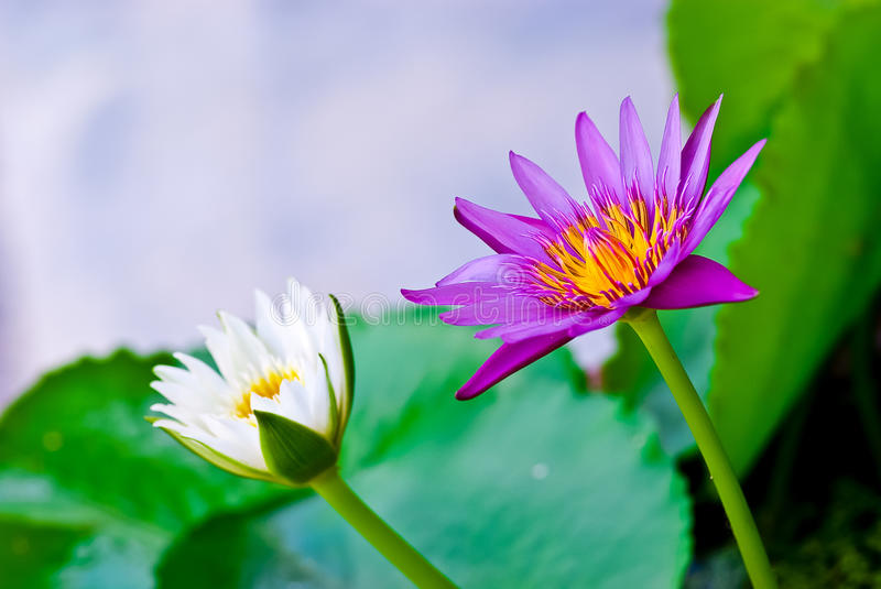Purple Lotus and White Lotus. In The Swamp stock image
